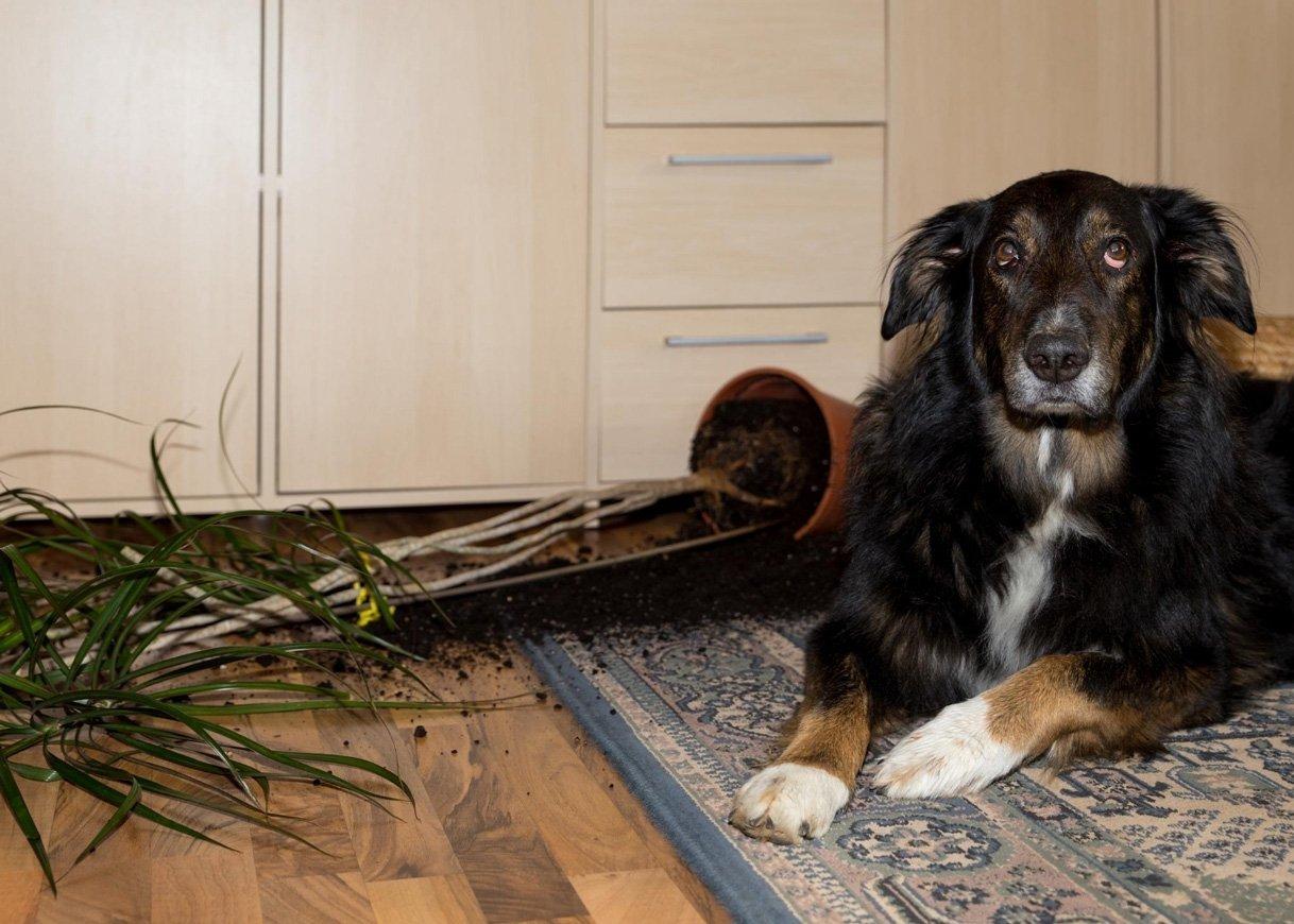 damaged-hardwood-floor-by-a-dog